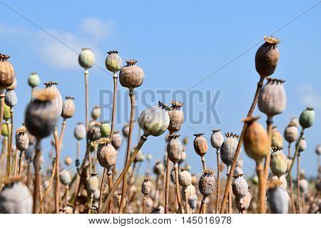 The field is ripe poppy. poppy field