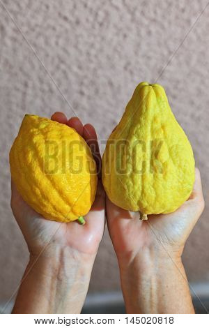 Autumn holiday of Sukkot in Israel. Women's hands holding the ritual fruit - citrus - etrog