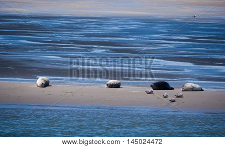 Common grey seals gathered on a sandbank in the Dutch Waddenzee