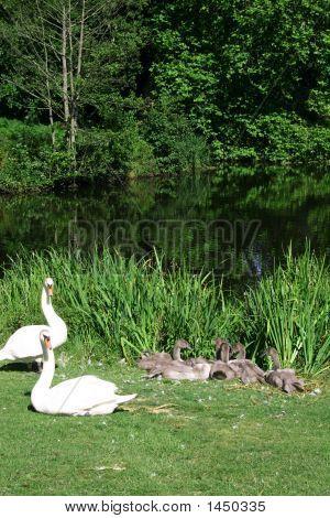 Swan Family Resting