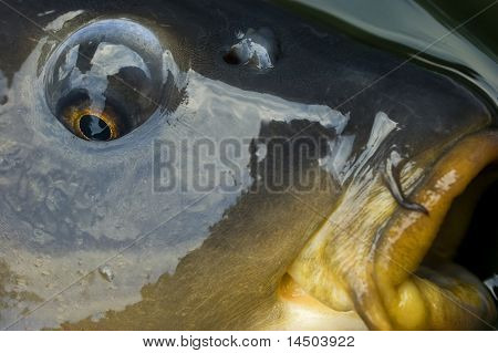 A close-up of eye and mouth of a carp. Gold sight poster