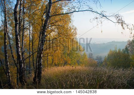 Gold birch and meadow. Autumn scene. Morning.