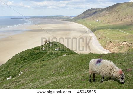Rhossili Bay with sheep grazing and people on beach. Gower Peninsular Wales UK