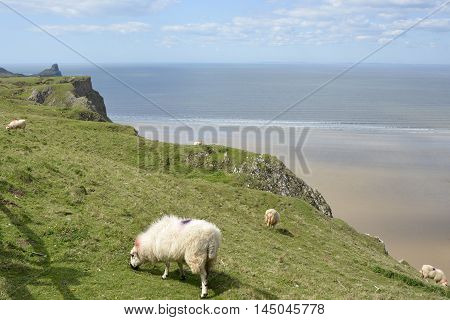 Rhossili Bay with sheep grazing. Gower Peninsular Wales UK