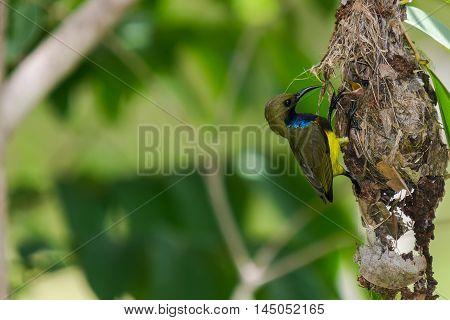 Olive-backed Sunbird Feeding Chicks