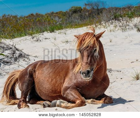 Wild horse relaxing on sand at Assateague