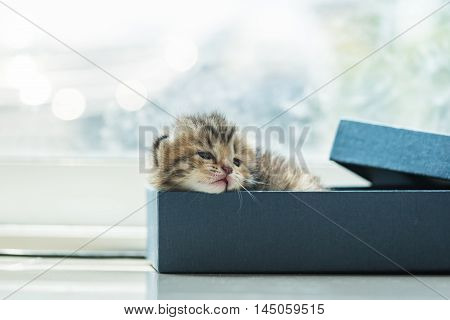 Close up of cute lazy tabby persian kitten lying in blue paper box in the orning. poster
