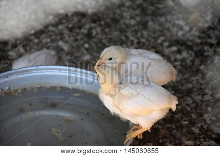 Two chicks drink water. Chicks at the feeder.