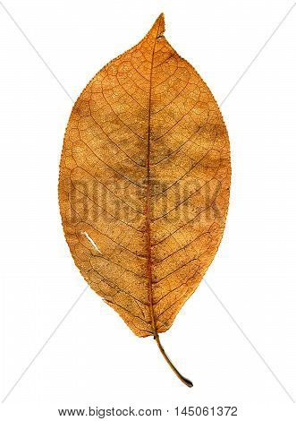 Autumnal Leaf Isolated on the White Background