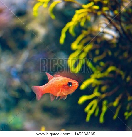 Cardinal Fish Apogon Imberbis, horizontal image, color image