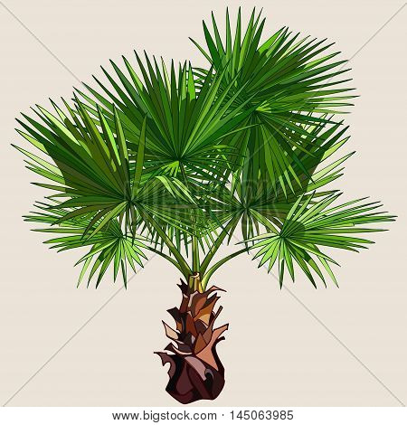 cartoon drawn  small palm tree with spreading leaves