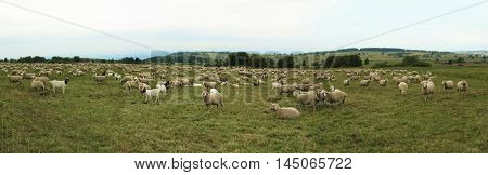 Sheep Goats Flock Quadruped Landscape Panorama.