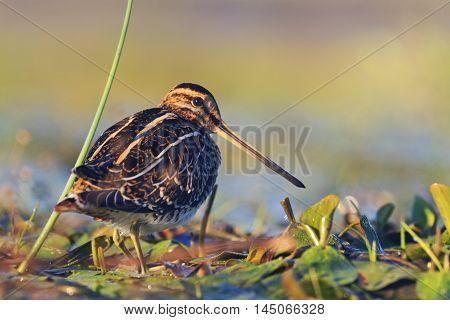 snipe basking in the morning sun, snipe, sandpipers, bird hunting, bird hunt is on, waterbirds, long beak poster