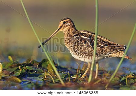 snipe at the front of the rack, snipe, sandpipers, bird hunting, bird hunt is on, waterbirds, long beak