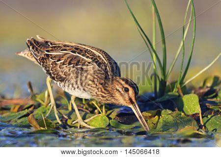 snipe gets food from under the mud, snipe, sandpipers, bird hunting, bird hunt is on, waterbirds, long beak