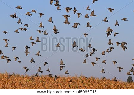 starlings fly over corn field, autumn migration, hundreds of birds flying, unique moment, a bird in flight