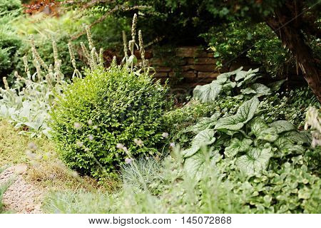 Boxwood shrubs in the landscape garden design. In the background is seen the stone fence.