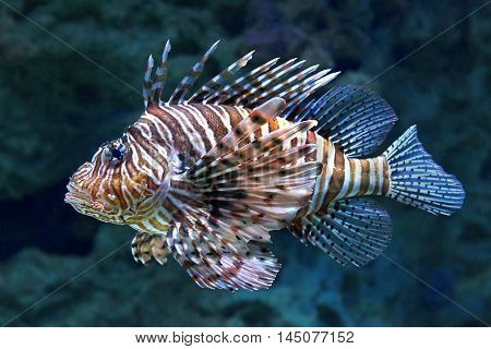 Red lionfish (Pterois volitans) seen from the side in its habitat