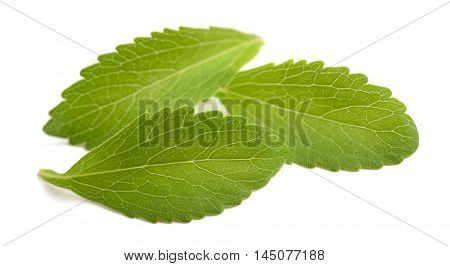 Stevia leaves isolated on a white background
