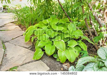Hosta leaves lie on the path of sandstone. Selective focus.