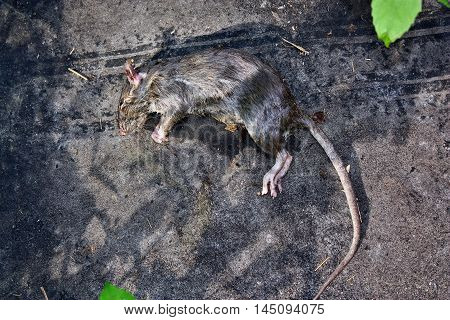 Poisoned Rodent Rat