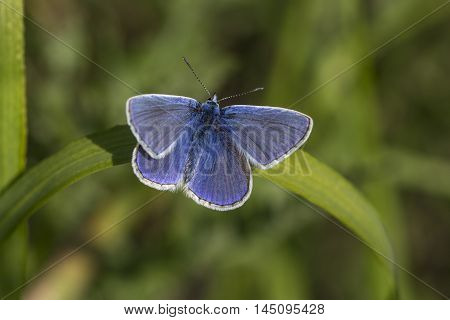 Butterfly Lycaenidae Nymphalidae Summer Field Wildlief Impression