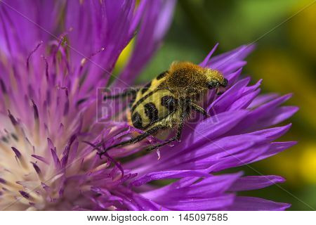 Beetle Insect Summer Garden Flower Blossom Impression