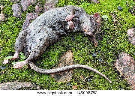 Lying Dead Big Rat