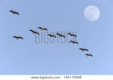 Bird migration is a flock of large birds flying in formation against a blue sky and daytime moon.