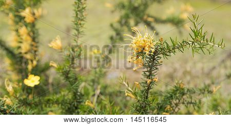 Australian golden orange wildflower Grevillea juniperine molonglo in flower clusters blooming in winter and spring with green and gold panorama background