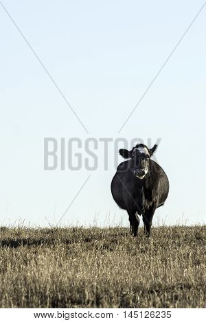 Black Angus cow looking forward in a dormant bermuda grass field in the winter