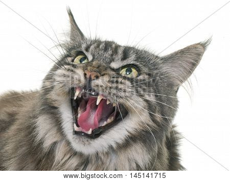 angry maine coon in front of white background