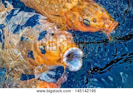 Koi Carp Open Mouth While Eating
