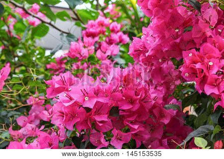Bougainvillea flower purple bougainvillea select focus front (Bougainvillea glabra Choisy)