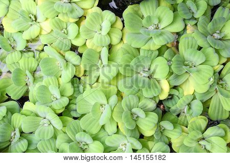 water lettuce used wastewater treatment. ( Pistia stratiotes L. ARACEAE ) : space for text and May You be used as background :