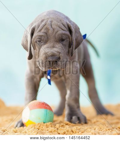 Purebred Great Dane puppy that seems to be daring someone to take its ball