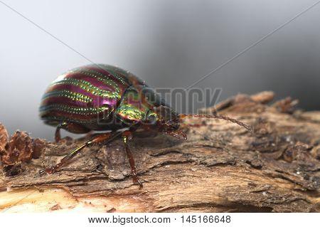 Rosemary beetle (Chrysolina americana) on rosemary plant in Italy