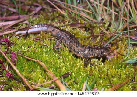 Italian crested newt (Triturus carnifex) wandering in an Italian bog