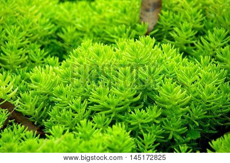 Green Gold moss sedum Sacred plants of Thailand.