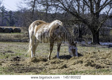 Brown and white pinto mare eating hay off of the ground in a pasture