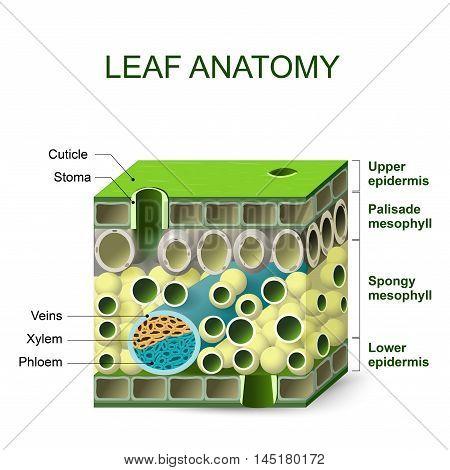Leaf Anatomy Diagram Leaf Vector Photo Bigstock
