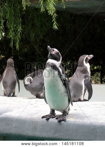 Penguin (Spheniscus magellanicus) standing with his head up and closed eyes