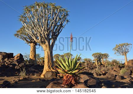 Agave plant in the Quiver Tree Forest in Namibia at sunset. Warm evening light