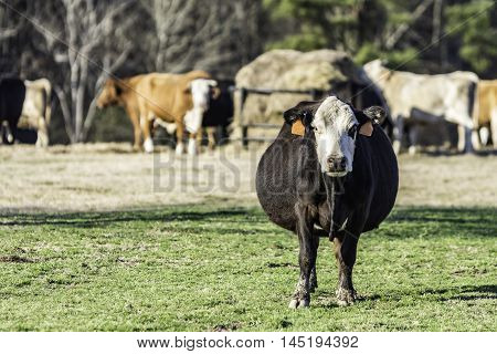 Black baldy cow with the herd and a round bale feeder in the background