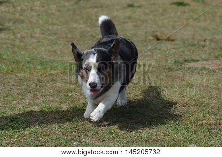 Herding Welsh corgi dog running on grass