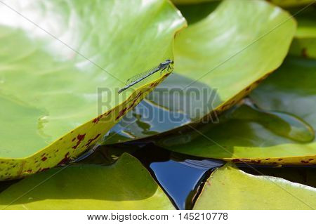A damselfly on a green lily pad