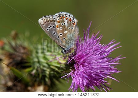 An Adonis blue butterfly (Polyommatus bellargus) on a thistle flower.