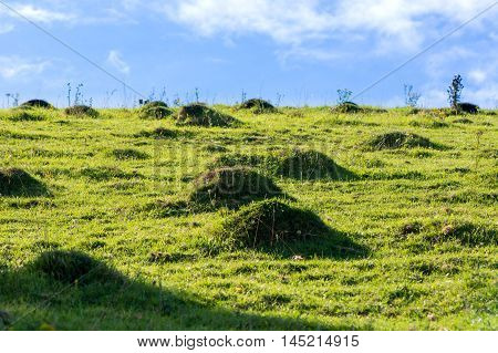 Yellow meadow ant hills (Lasius flavus) in meadow. Numerous ant hills standing above the ground of a field in the British countryside