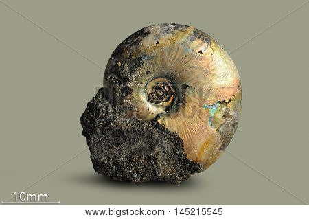 Ammonite - fossil mollusk. Ammonites lived in the ancient ocean 175-185 million years ago.
