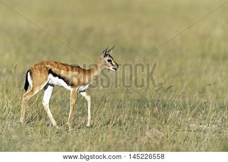 Grant Gazelle In The Savannah